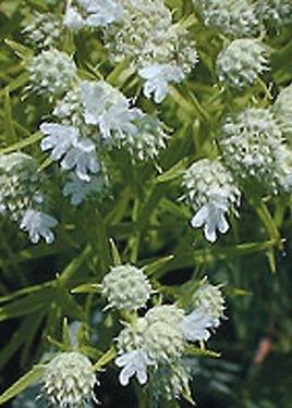 Slender Mountain Mint (Pycnanthemum tenuifolium), 2000 Certified Pure Live Seed, True Native Seed