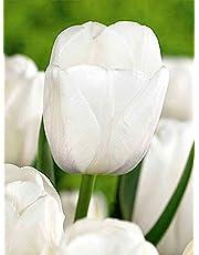 Bulbi 20 Pezzi Tulipano ClearWater Fiori Bianchi Perenni Da Giardino Profumati Prato Vaso 10/11 60 Cm