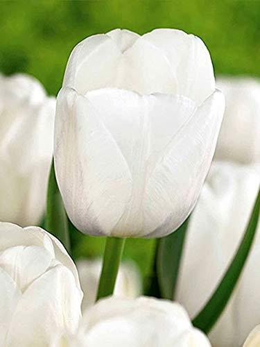 Fiori Bianchi Profumati.Bulbi 100 Pezzi Tulipano Clearwater Fiori Bianchi Perenni Da