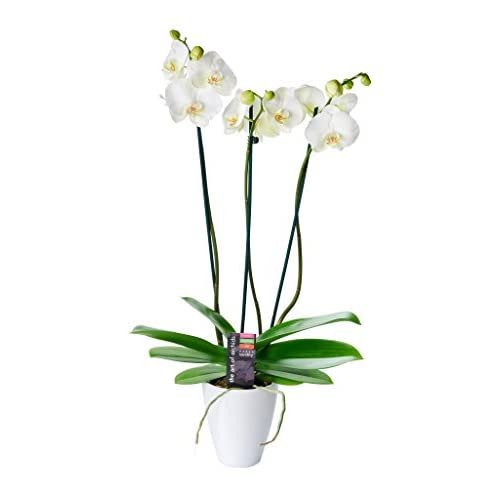 Cheap KaBloom Live Plant Collection: 3-Stem White Phalaenopsis Orchid Plant (18 Inches Tall) in a 5-Inch White Ceramic Pot free shipping