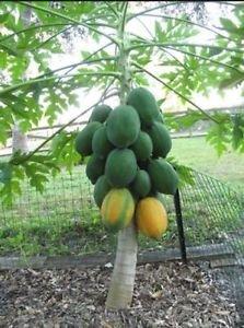 50 Very Fresh Rare! Dwarf Waimanalo Papaya! tropical fruit tree seeds plant