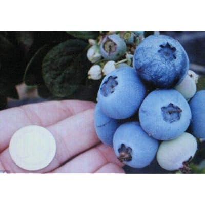 Grandiosy Northern HIGHBUSH Blueberry SEEDATTRACTS Wildlife Birds/Bears : Garden & Outdoor