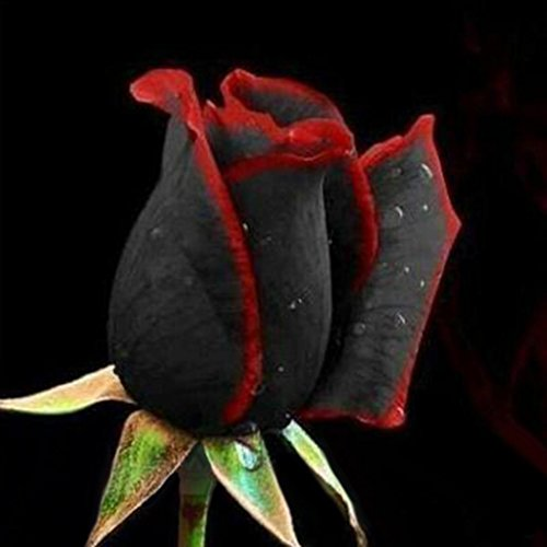 Afco 50Pcs Black Rose with Red Edge Seeds Home Garden Plant Flower Seed