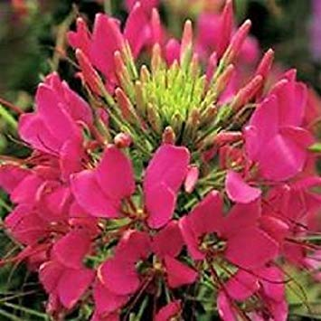 50+ Giant Rose Queen Cleome Flower Seeds/Re-Seeding - Cleome Rose Queen