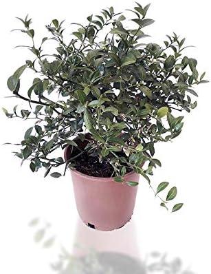 Planta natural Maceta 17cm Microcitrus australasica Gastos de env/ío gratis Caviar c/ítrico verde 40cm de altura