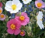 ROCK ROSE COMMON MUTABILE MIX Helianthemum Nummularium - 1,000 Bulk Seeds