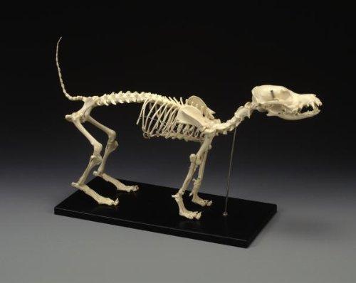 Dog Skeleton, Standard Size SPECIAL SALE ()