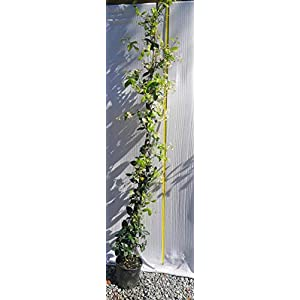 Gelsomino 5 piante (foto reali) 41QUjJ2QJVL. SS300