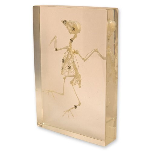 Skeleton Acrylic (Bird Skeleton in Acrylic Display)