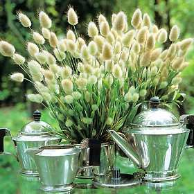Bunny Tails Ornamental Grass Amazon bunny tails ornamental grass 20 seeds 250 mg grass amazon bunny tails ornamental grass 20 seeds 250 mg grass plants garden outdoor workwithnaturefo
