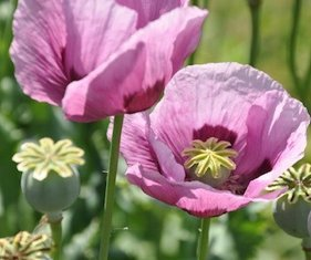 POPPY PERSIAN BLUE (Papaver Sominiferum) A GORGEOUS VIOLET BLUE WITH DARK CENTER A HARDY POPPY APPROX 100 SEEDS