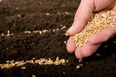 60 Yukon Gold Potato Seeds