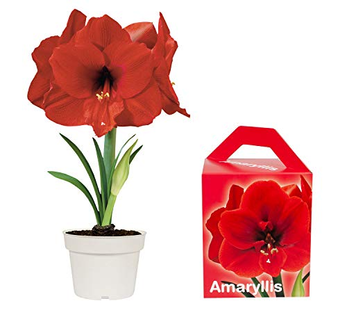 Amaryllis Grow Kit | Grow Your Own Beautiful Red Amaryllis Flower in A Few Weeks | Great Business and Christmas Gift | TotalGreen Holland (Flowers And Plants Amaryllis)