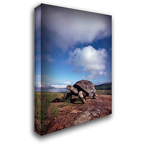 Galapagos Tortoise on Caldera Rim, Alcedo Volcano, Isabella Island, Galapagos Islands, Ecuador 24x34 Gallery Wrapped Stretched Canvas Art by De Roy, Tui ()