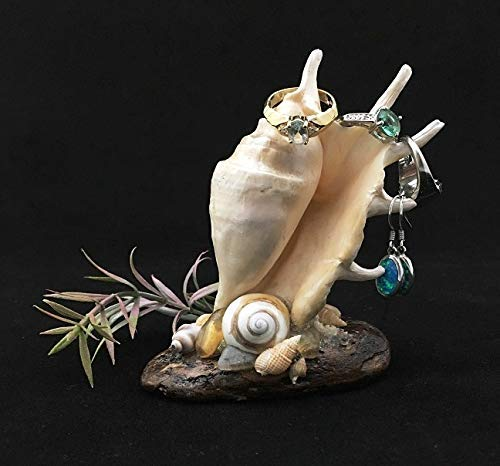 Spider Conch Shell - Lovely Spider Conch ~ Earring holder/Planter (faux plant included)
