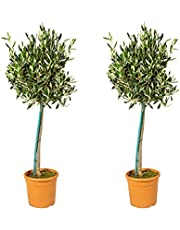 Olijfboom op stam - Olea Europaea per 2 stuks - Buitenplant in kwekerspot ⌀19 cm - ↕70-80 cm