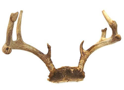 Vintage Gnarled Atypical 8 Point Whitetail Buck Deer Antlers - Rack Whitetail