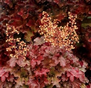 (1 Gallon Plant, Heucherella Buttered Rum CORAL BELLS, Evergreen, SHORT, Caramel-dipped, deeply-cut maple leaves, in fall the leaves turn exquisite rose red.)