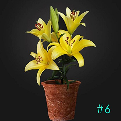 Lily Potted Peace (50 pcs/bag Lily Seeds, Lilium Perfume Seeds Lily Bulbs Flower Bonsai Seeds Fragrance Plant Lily Flower Seeds for Home Garden Potted Decor)