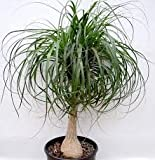 Vedanta Sales Ponytail Palm Live Natural Plant(Pot Included)