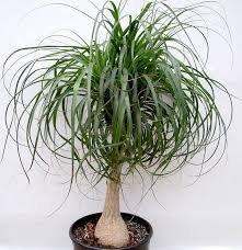 Vedanta Sales Ponytail Palm Live Natural Plant(Pot Included)