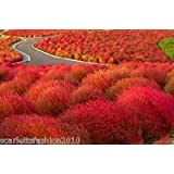 1,000 Grass Burning Bush Seeds Kochia Scoparia Flame Red Flower Plant ornamental