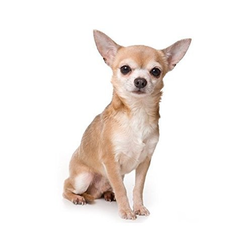 Chihuahua ~ Dog Breed ~ Edible Image Cake / Cupcake Topper
