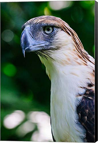 - Philippine Eagle by Michael Runkel/DanitaDelimont Canvas Art Wall Picture, Museum Wrapped with Black Sides, 11 x 16 inches