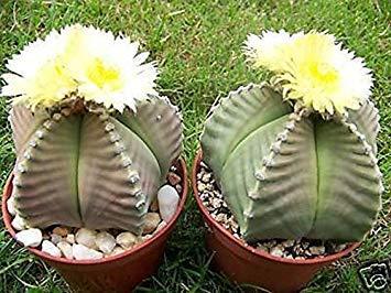 Farmerly Astrophytum Myriostigma Kiko nudum Rare Giappone ibridi pianta del cactus Cactus 20 Semi