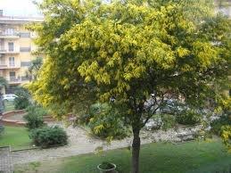 Acacia dealbata Gaulois Astier