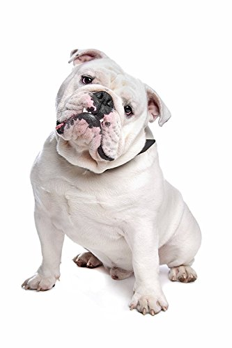 Shower Curtain 72 X 72 Inch English Bulldog Printing Polyester Fabric - Bronze English Soap Dispenser