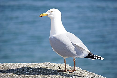 Home Comforts LAMINATED POSTER Seagull On Ground Animals Pos