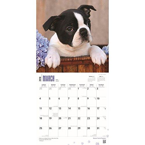 Boston Terrier Puppies 2018 Wall Calendar Photo #2