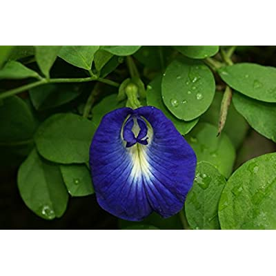 BSNKRY 10 Seeds - Clitoria Ternatea Blue Butterfly Pea - Asian Pidgeonwings : Garden & Outdoor