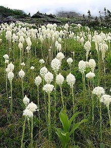 Bear Grass - The Dirty Gardener Bear Grass, 100+ Seeds