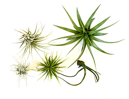 9GreenBox - Air Plant - 5 Set