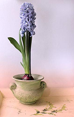 Home Comforts Framed Art for Your Wall Plant Hyacinth Pot Peaceful Still Life Purple Vivid Imagery 10 x 13 Frame