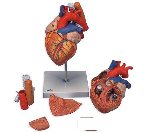 3B社 心臓模型 心臓2倍大5分解モデル食道気管大動脈付 (g13)   B003Z2TVP0