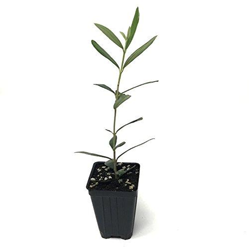 Leccino Olive Olea Europaea Live Tree