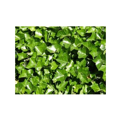 English Ivy | Hedera helix | Evergreen Ground Cover Plants | 1 order contains 25 bare root plants : Garden & Outdoor