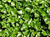 English Ivy | Hedera helix | Evergreen Ground Cover Plants | 1 order contains 25 bare root plants