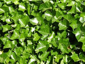 English Ivy | Hedera helix | Evergreen Ground Cover Plants | 1 order contains 25 bare root - English Helix Hedera Ivy