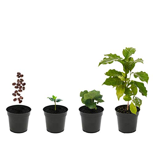 "Grow Your Own Coffee Plant Kit (Pack of 2) Coffea Arabica Nana Complete Coffee Growing Kit, 4"" Seedling Pots, Coconut Coir Discs, Coffee Seeds, Plant Markers, Drip Trays and Guide"