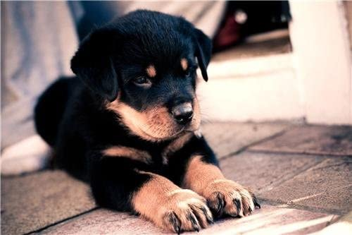 Amazon Com Rottweiler Puppy Glossy Poster Picture Photo Dog Puppies Cute Baby Funny Prints Posters Prints