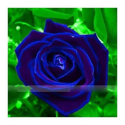 Zennixplus Purple Blue Rose Big Flowering Plants Strong Fragrant Dazzling Garden Flower : Garden & Outdoor
