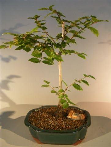 Amazon Com Bonsai Boy S Korean Hornbeam Bonsai Tree Carpinus Coreana Garden Outdoor