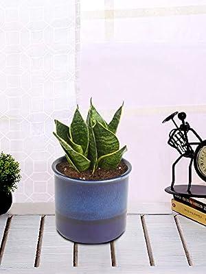 Exótico Verde Interior purificador de Aire Mil o Sansevieria ...