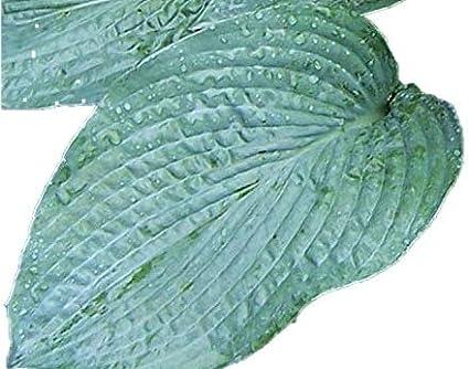 Amazoncom Hosta Bressingham Blue Quart Pot Heavy Healthy