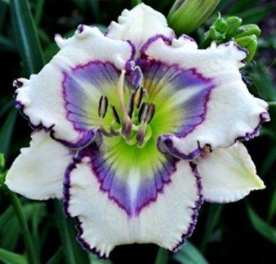 web-of-illusion-daylily-5-seeds-hemerocallis-upc-647923989052
