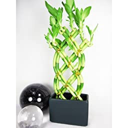 9GreenBox - Live 8 Braided Style Lucky Bamboo Plant Arrangement with Black Vase